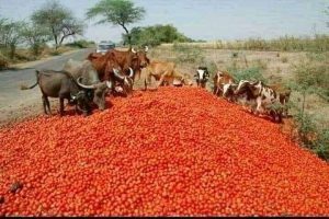 farmers tomatoes cattle